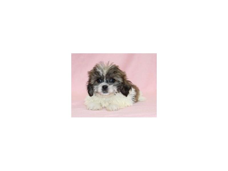 Shih Tzu / Bichon-Female-Brindle-White-2107065-My Next Puppy