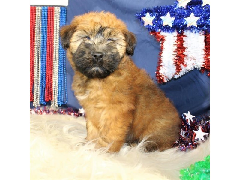 Soft Coated Wheaten Terrier – Sparrow