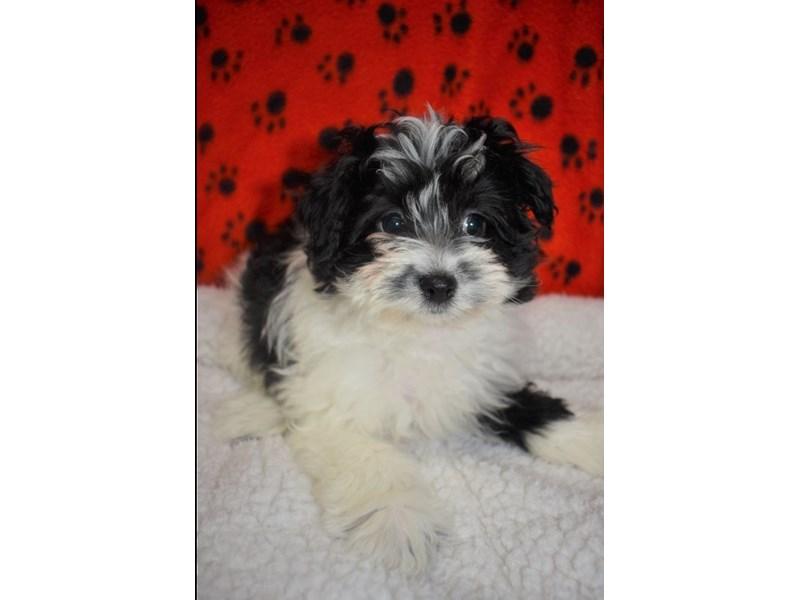Pomeranian Poodle-Female-Black-White-2076930-My Next Puppy