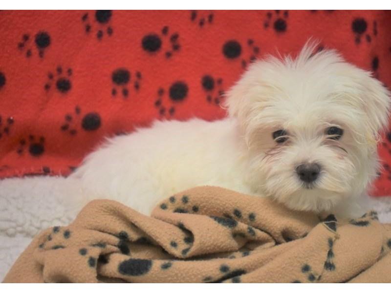 Maltese Shih Tzu Dog Female White 2076959 My Next Puppy