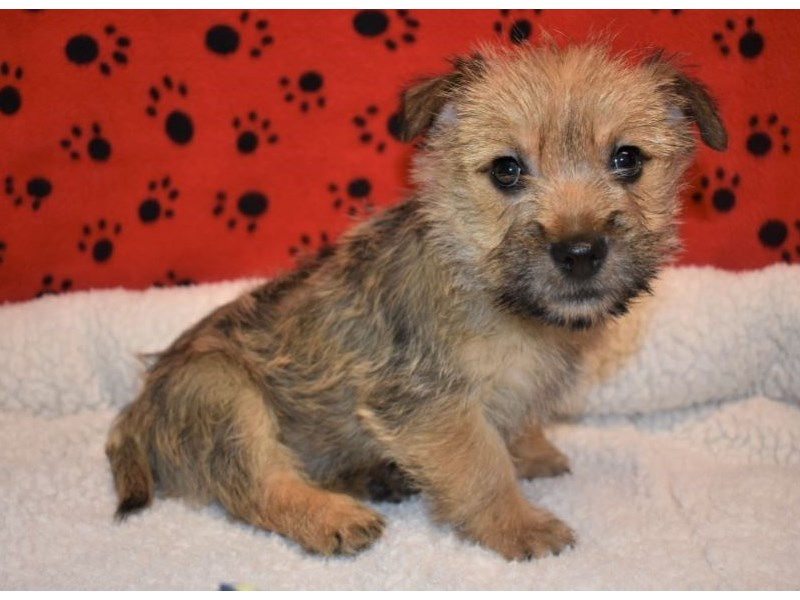 Cairn Terrier-Male-Wheaten-2087132-My Next Puppy