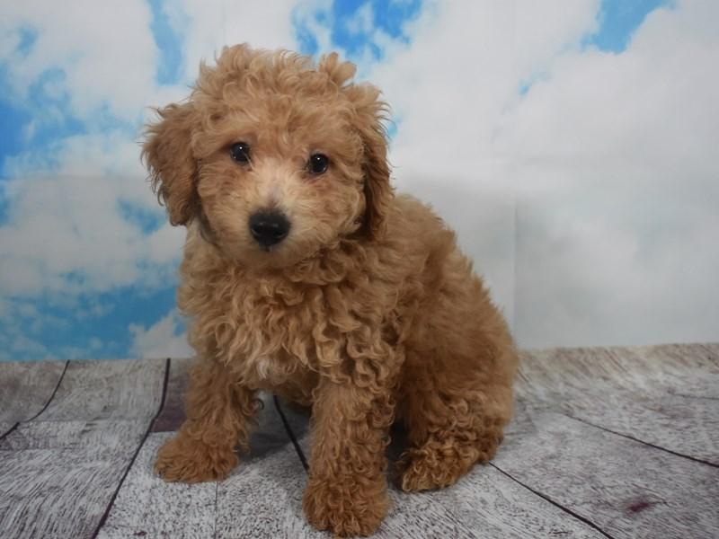 Bichon Frise / Poodle-Male-Apricot-2107108-My Next Puppy