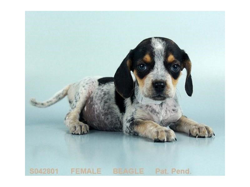 Beagle – Mia