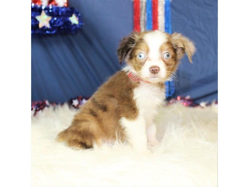 Australian Shepherd-Male-Red Merle-2115923-My Next Puppy