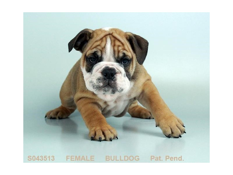 English Bulldog – Hailey