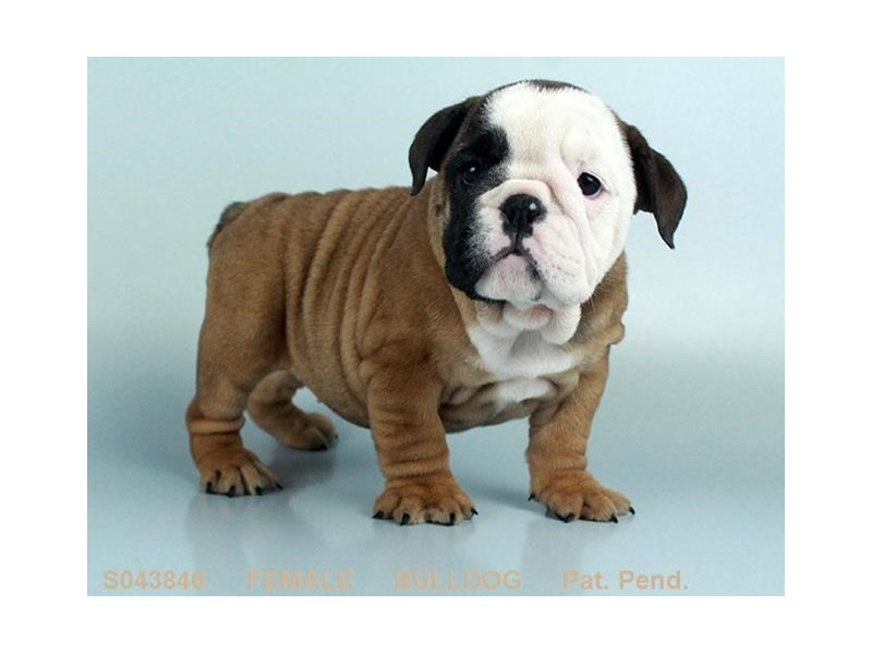 English Bulldog – Rachel