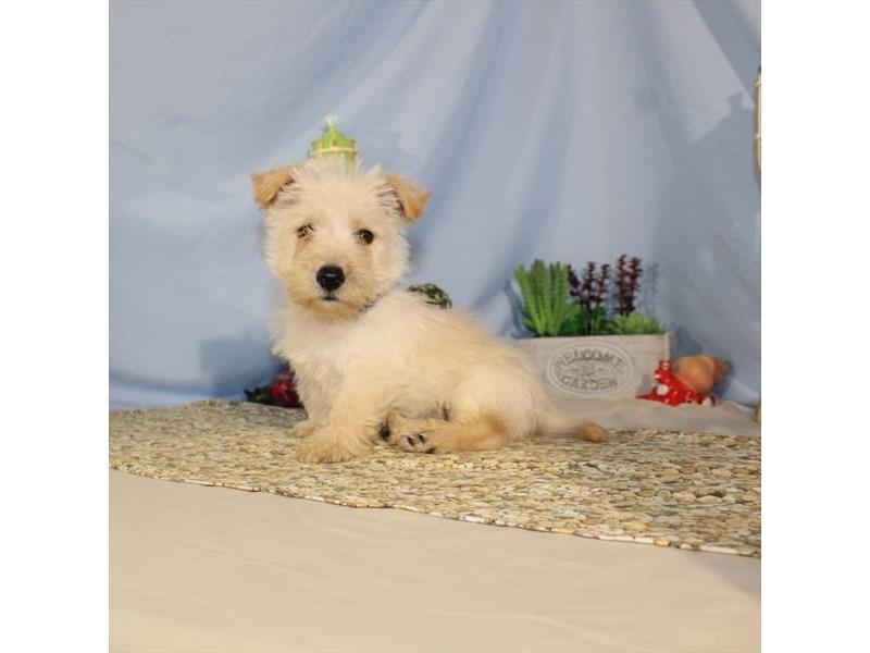 Scottish Terrier-Male-Wheaten-2129641-My Next Puppy