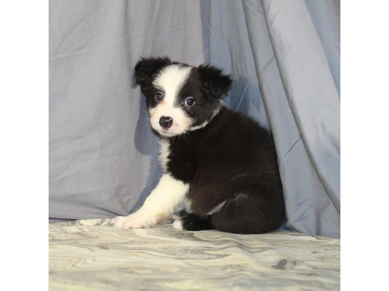 Border Collie-Male-Black-2134676-My Next Puppy