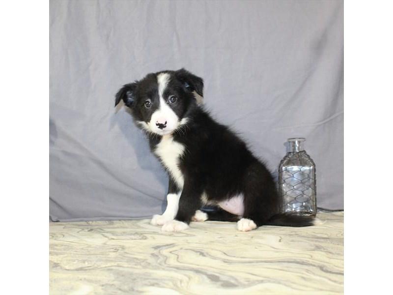 Border Collie-Female-Black / White-2146142-My Next Puppy
