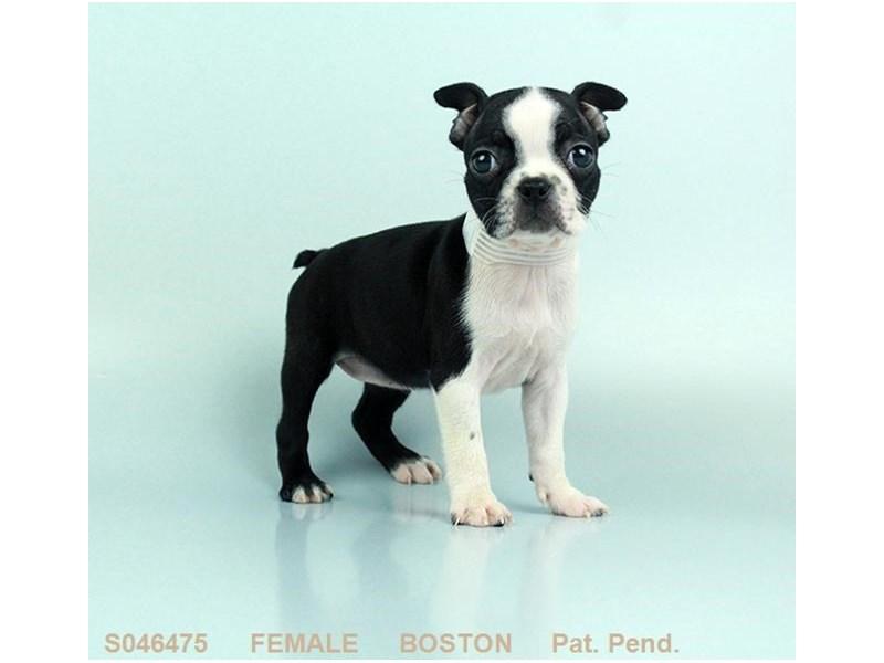 Boston Terrier – Katie