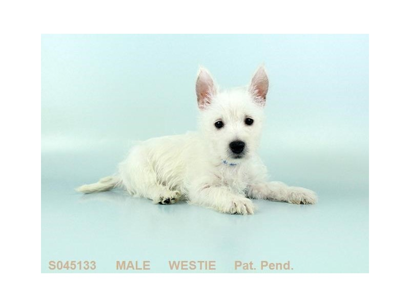 West Highland Wh Tr-Male-WH-2139693-My Next Puppy