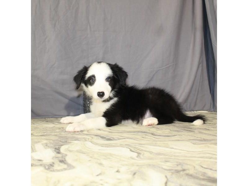 Border Collie-Male-Black / White-2146143-My Next Puppy