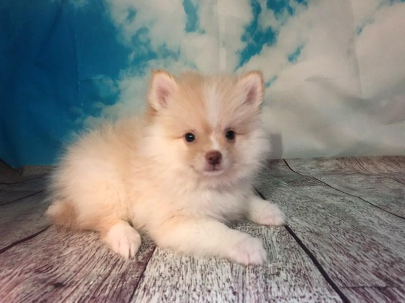Pomsky 2nd Gen-Male-OR & WH-2153352-My Next Puppy