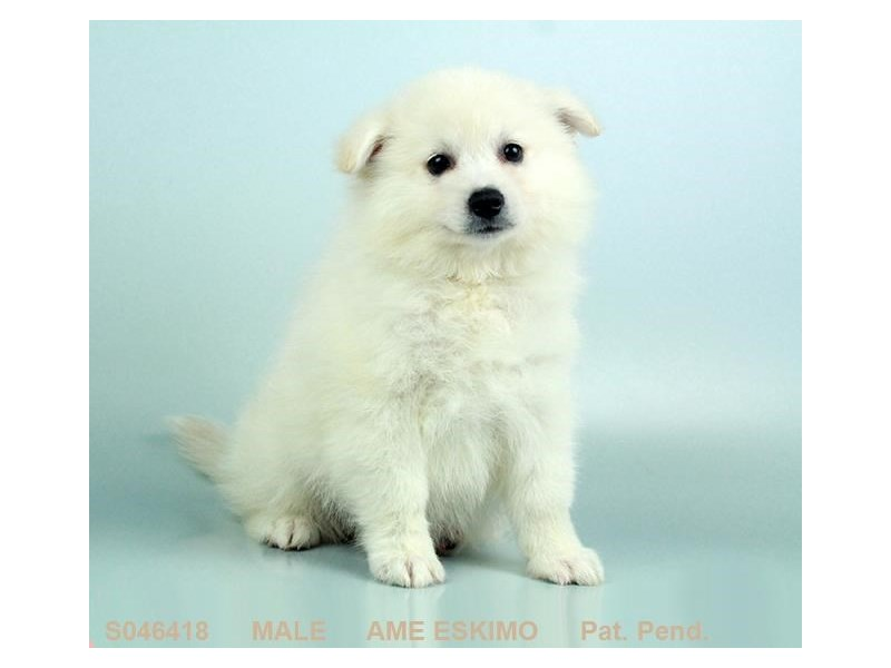 American Eskimo-Male-WH-2155438-My Next Puppy
