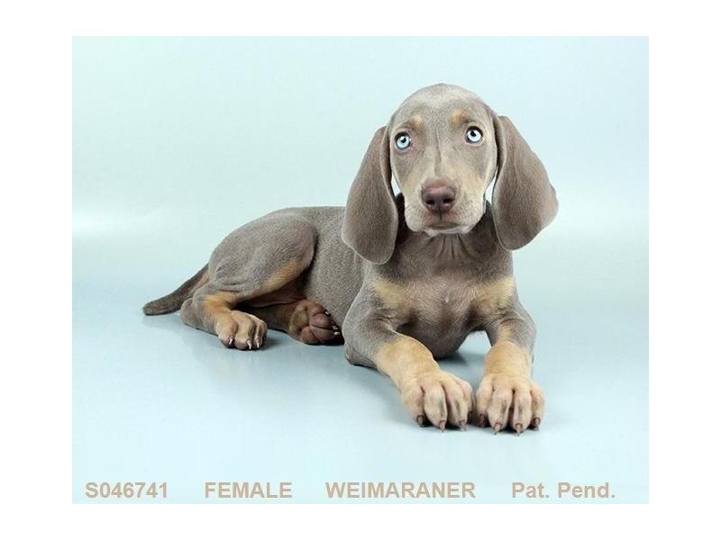 Weimaraner-Female-SLVR GR:TN MKGS-2160941-My Next Puppy