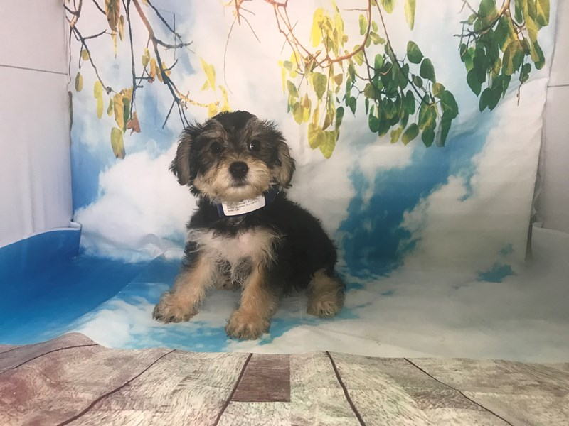 Shichon-Female-Black-Tan-2163407-My Next Puppy