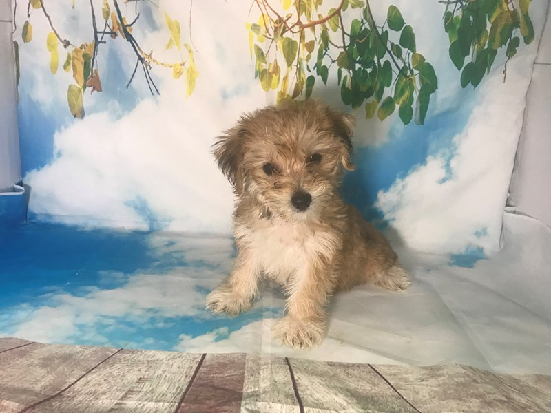Shichon-Female-Sable-2163405-My Next Puppy