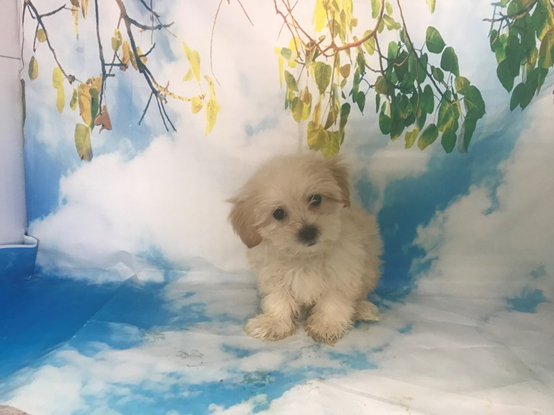 Shichon-Female-Sable-2163403-My Next Puppy