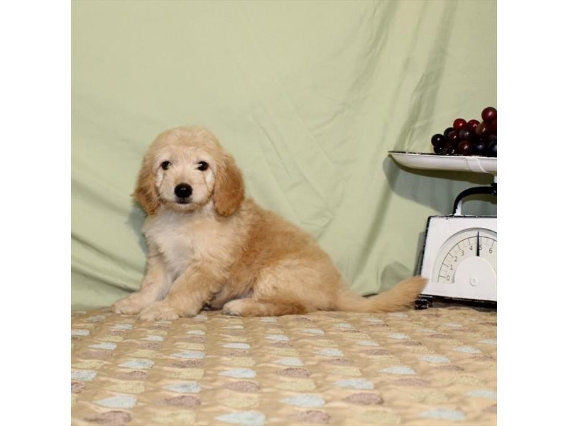 Goldendoodle Mini – Bailey