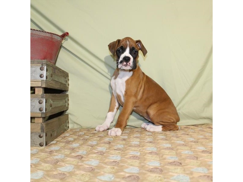 Boxer-Female-Fawn-2166230-My Next Puppy