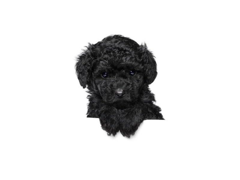 Miniature Poodle – Penny