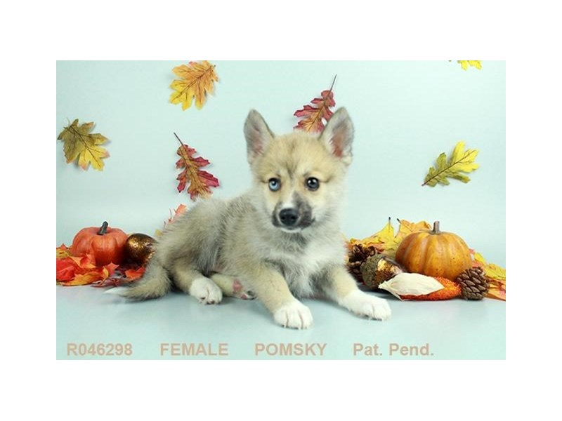 Pomsky-Female-Sable & White-2173857-My Next Puppy