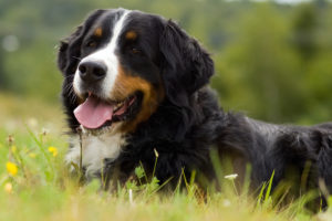 What Every Prospective Bernese Mountain Dog Owner Should Know