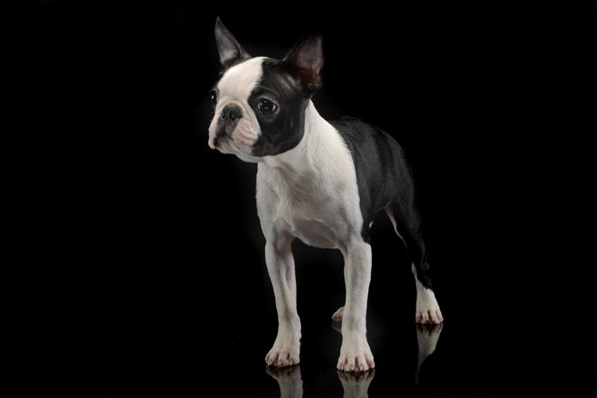 Boston Terriers Q A