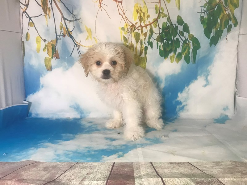 Malshi-Female-White-Tan-2163437-My Next Puppy