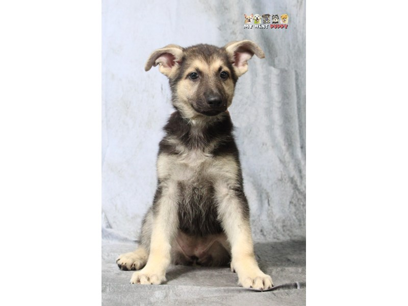 german shepherd clementine my next puppy