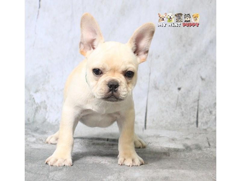 French Bulldog-Male-CR-2180606-My Next Puppy