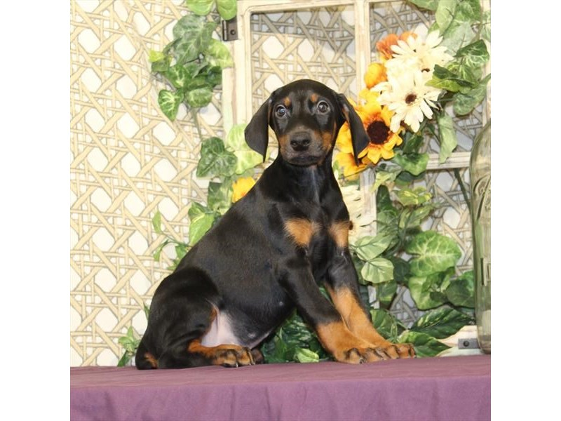 Doberman Pinscher-Male-Black / Rust-2186472-My Next Puppy