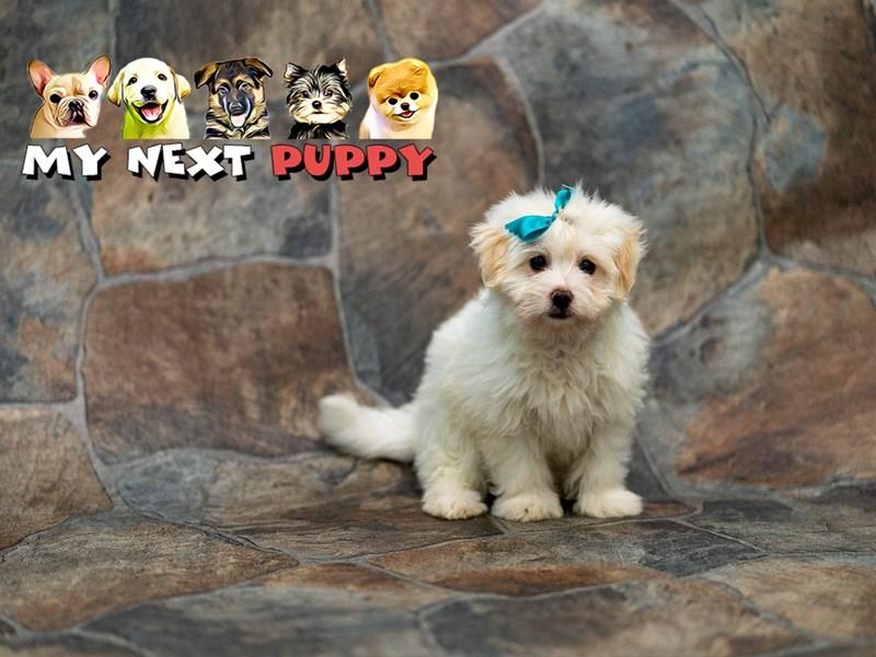 Maltipom-Male-Cream-2192832-My Next Puppy