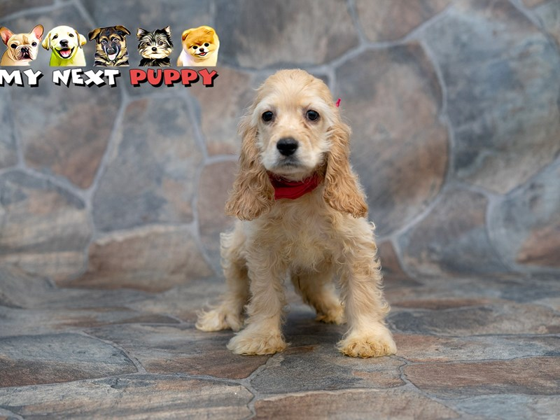 Cocker Spaniel-Male-Golden-2192927-My Next Puppy