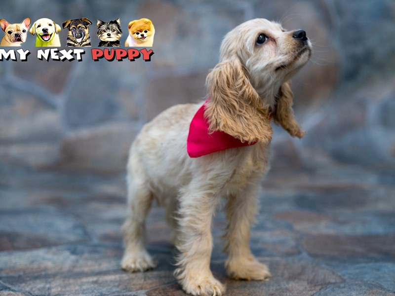 Cocker Spaniel – Tiffany