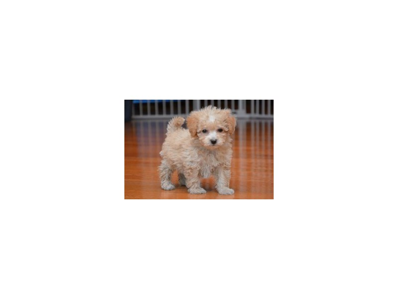 Bichon Poo-Female-Tan-2192810-My Next Puppy
