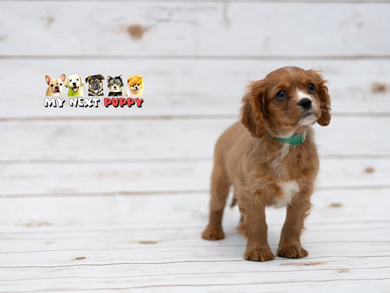 Cavalier King Charles-Male-RBY-2199083-My Next Puppy