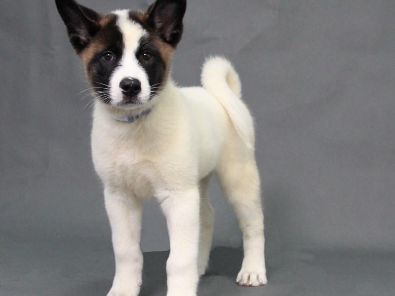 Akita-Female-White-Tan-2178138-My Next Puppy