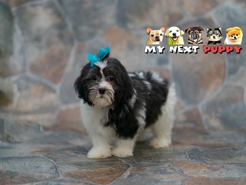 Shih Tzu/Maltese-Female-Black & White-2192801-My Next Puppy