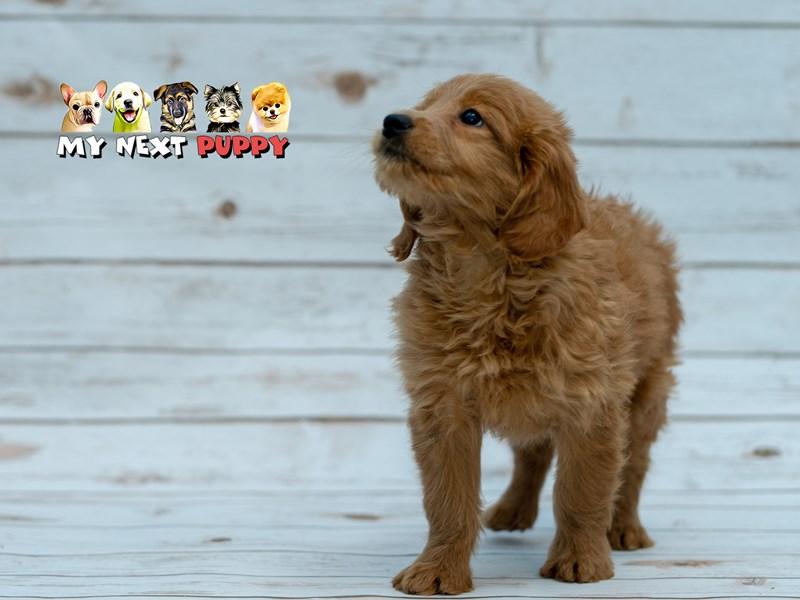 Miniature Goldendoodle – Ginger