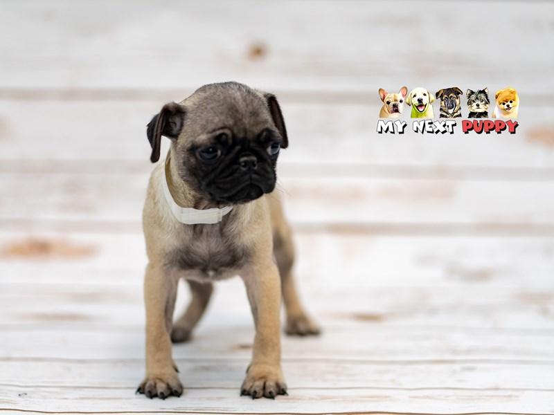 Pug – Bridget