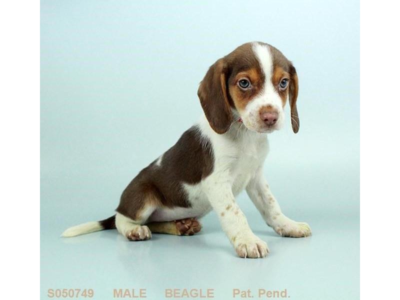 Beagle – Puma
