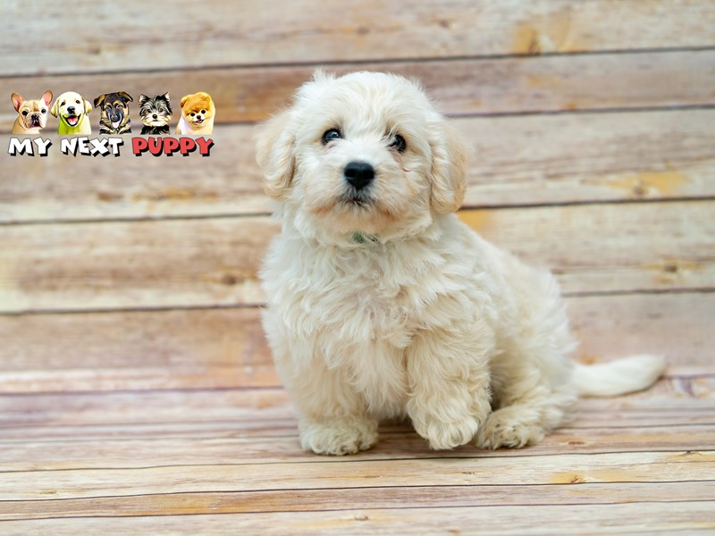 Mini Labradoodle-Male-White-2206200-My Next Puppy