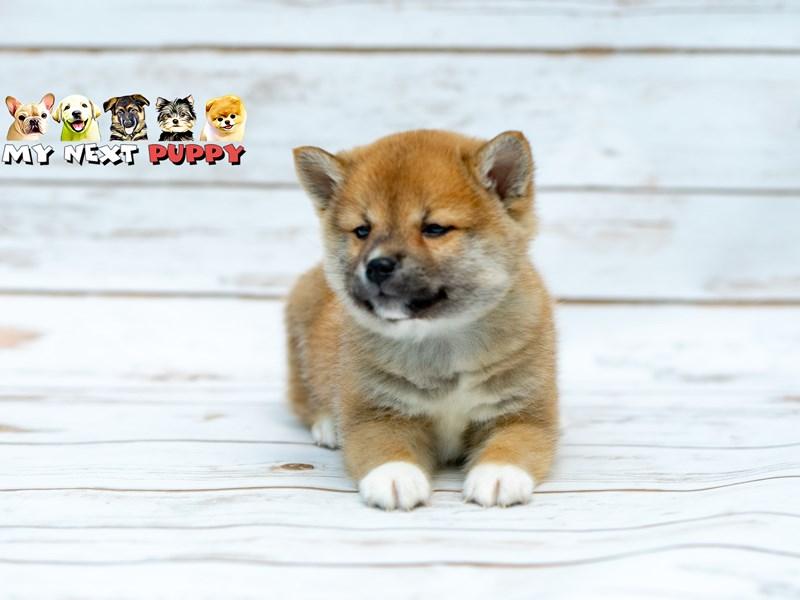Shiba Inu-DOG-Male-Red-2206188-My Next Puppy