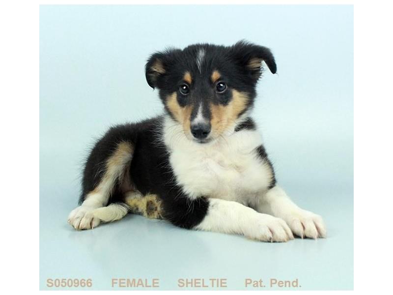 Shetland Sheepdog-Female-BLK WH & TN-2208129-My Next Puppy