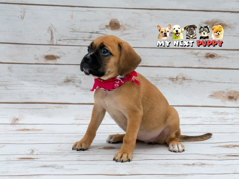 Puggle-Female-Apricot-2209540-My Next Puppy