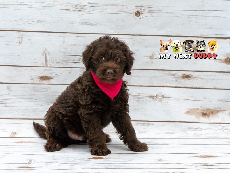 2nd Generation Mini Labradoodle-Male-Chocolate-2210885-My Next Puppy