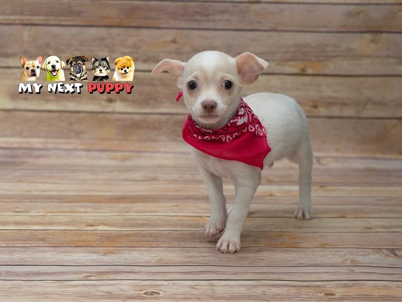 Chihuahua – Buddy