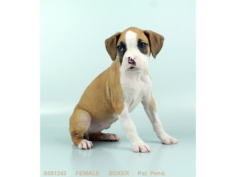Boxer-Female-FN:WH MKGS-2212806-My Next Puppy
