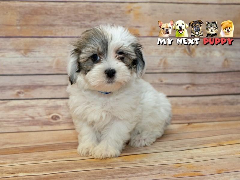 Havanese-Male-White-2214940-My Next Puppy